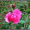 Rose 150915
