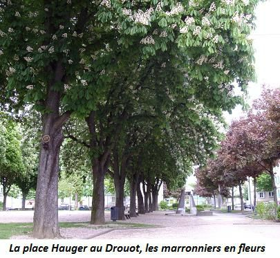 Place Hauger Drouot Marroners en fleurs