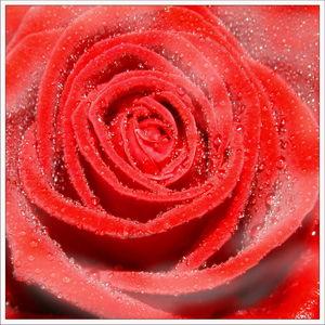 rose_rosee