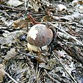 Bouchon de cèpe noir parmi les débris...