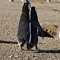 Pingouins de magellan en couple Punta Arenas Isla Magdalena