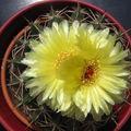 Cactus fleur jaune 01