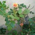 rosier nain bis