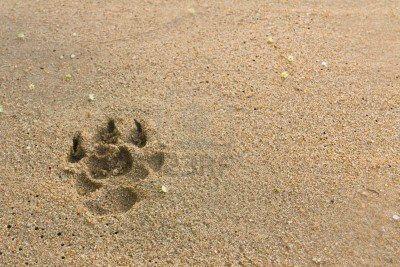 12531223-empreintes-de-chiens-sur-la-plage