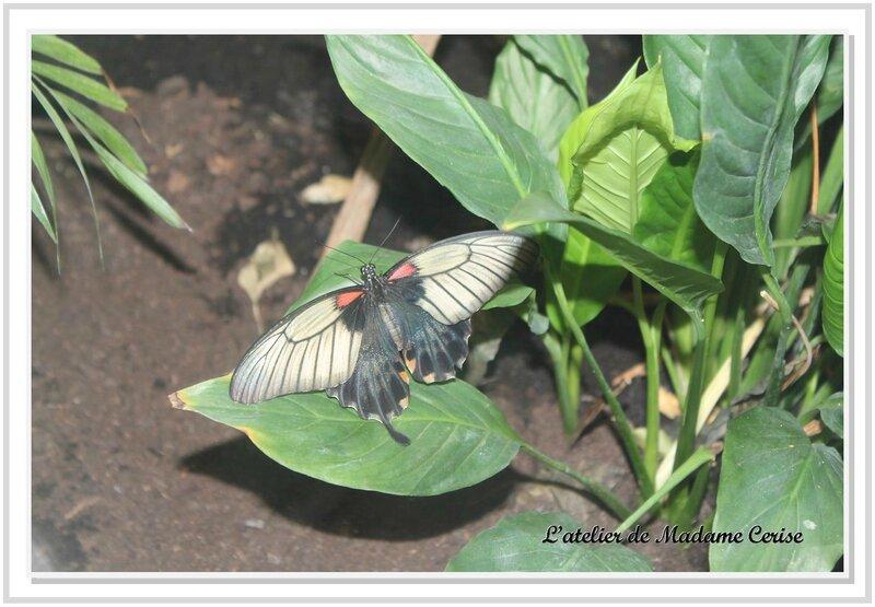 papillon-aveyron
