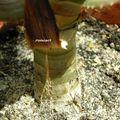 Aloe dichotoma v