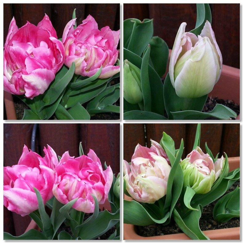 mosaïque tulipes du jardinet 10 04 2014