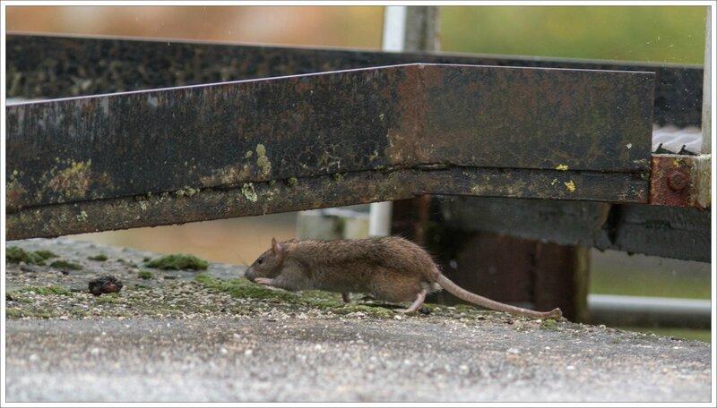 ville pluie rat ecluse 3 241016