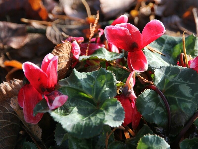 cyclamen de naple rose vif