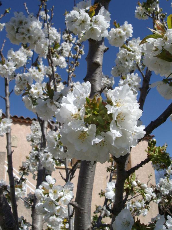 cerisier (fleurs)