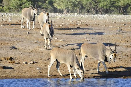 Elands, parc d'Etosha, Namibie