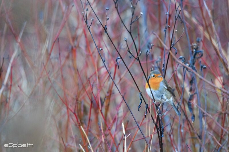 Rouge-gorge familier Hiver 2015