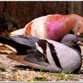 Deux tourtereaux s'aimaient d'amour tendre...
