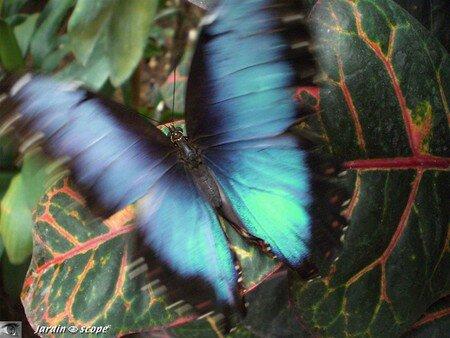 Morpho peleides • Morpheidae (ailes ouvertes)