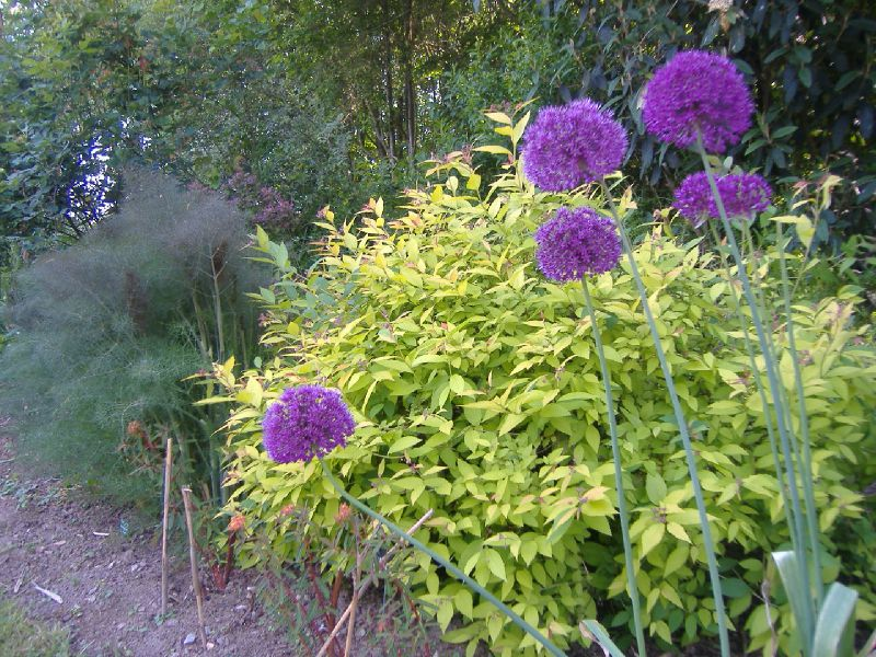 allium ail d 39 ornement photo de promenade au jardin les jardins de la chesnaie. Black Bedroom Furniture Sets. Home Design Ideas