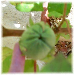 coton_fruit_5sept09