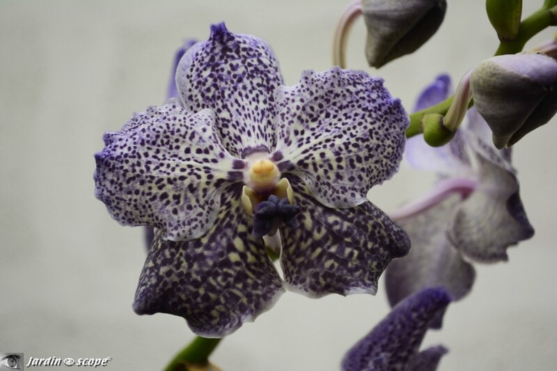 Orchidée-257