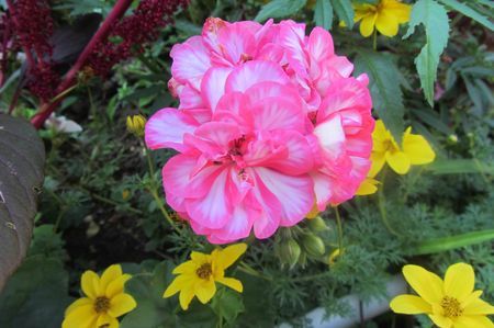 Fleurs Aout 2013 004