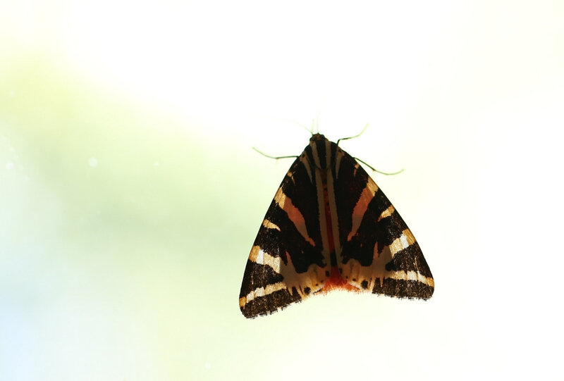 papillon écaille