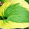 Feuille d'Hosta
