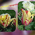 balanicole_2016_05_avril tulipes_19_flammes espagnoles