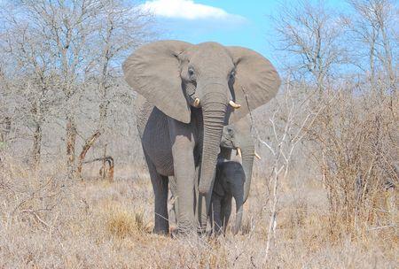 El_phants_de_savane__m_re_et_ses_petits__parcs_Kruger__Afrique_du_Sud