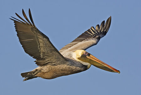 Brown_pelican_from_natures_pics_Public_domain_1_