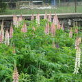 2008 06 15 Les lupins