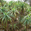 8706-Aloes