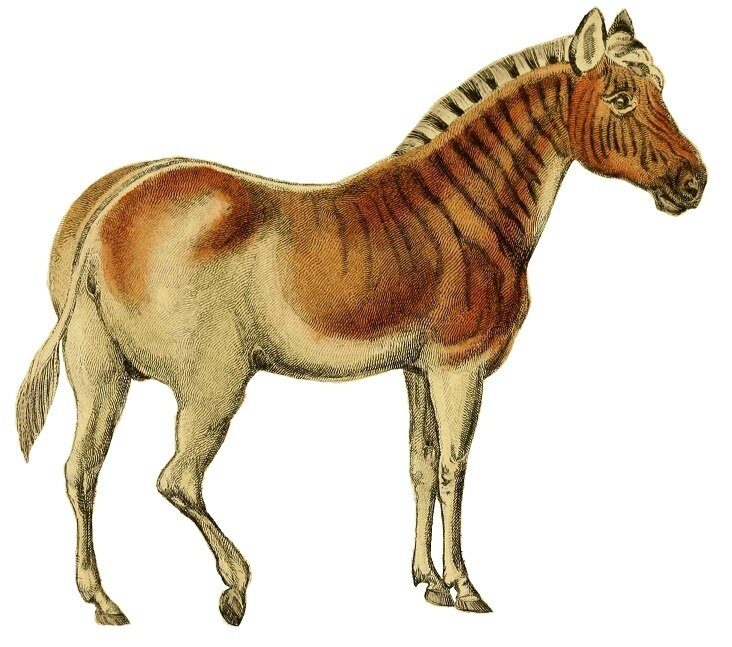 The_natural_history_of_horses_(Plate_XXIV)_cropped