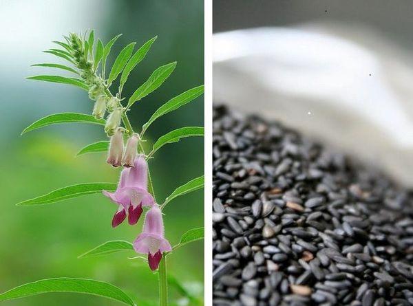 plantes_et_graines_sesame