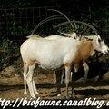 Tchad : l'oryx algazelle bientôt de retour à l'état sauvage