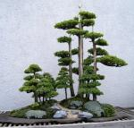 Foemina_Juniper_bonsai_267%2C_May%2C_29%2C_2011_-_Stierch[1]