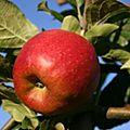 Cueillette de pommes à la ferme chez le producteur à bonnes dans la vienne