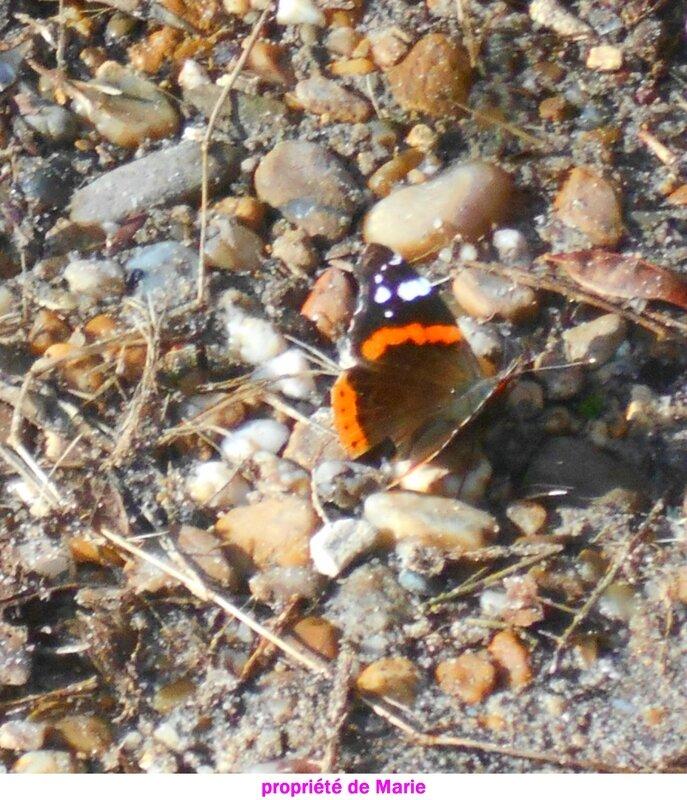 papillon1a
