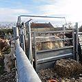 On prépare le concours d'animaux de boucherie mars 2012