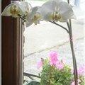 Nouvelle floraison d'une de mes orchidées