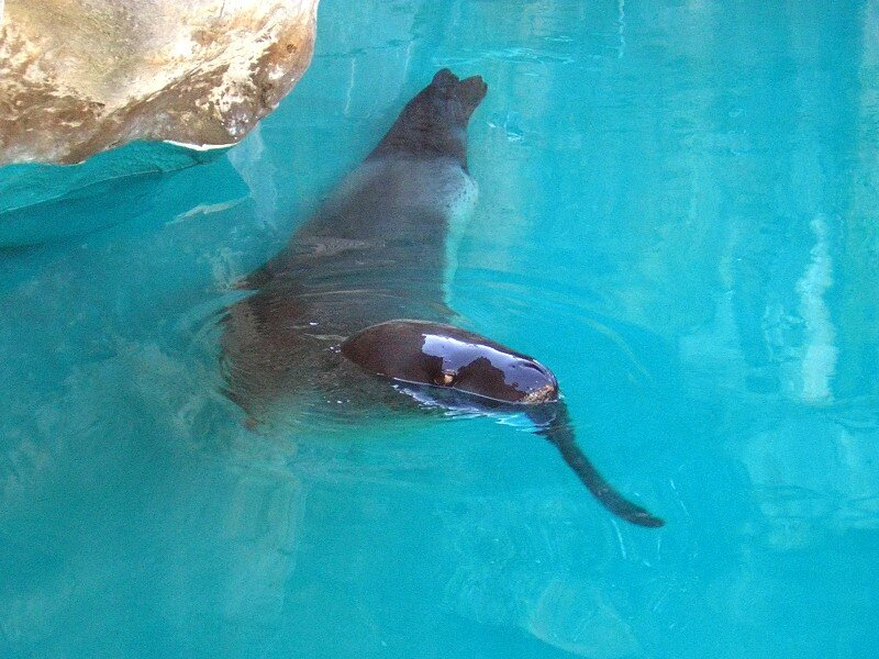 Leopard_seal_Taronga