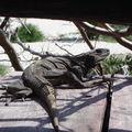 iguane sur notre balcon