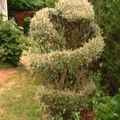 Martin cotoneaster