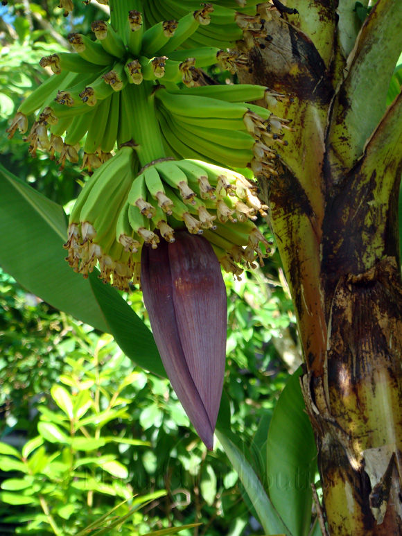 Image-Nature-Fruit exotique-Banane-Martinique