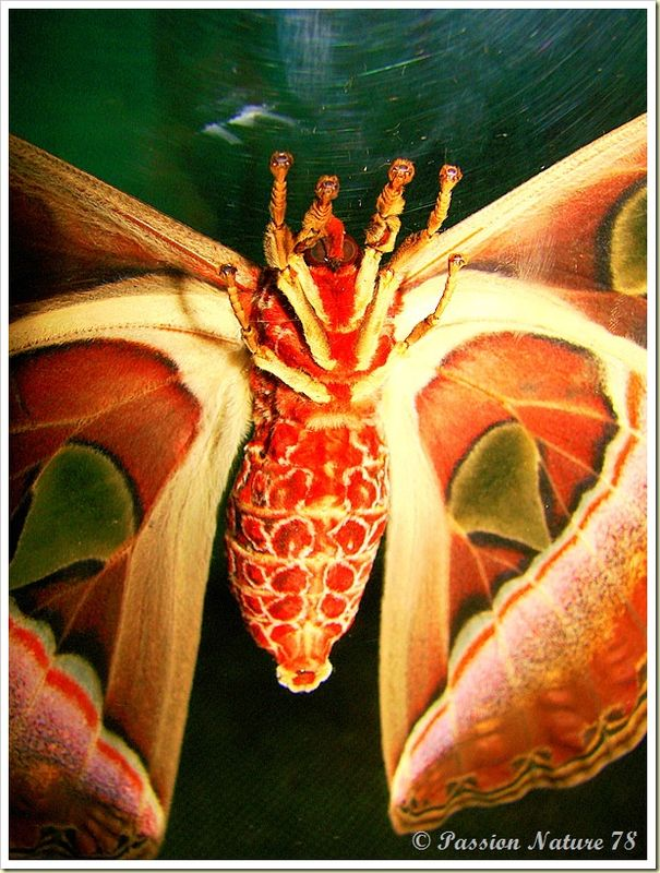Papillon Attacus Atlas ou Bombyx Atlas (20)