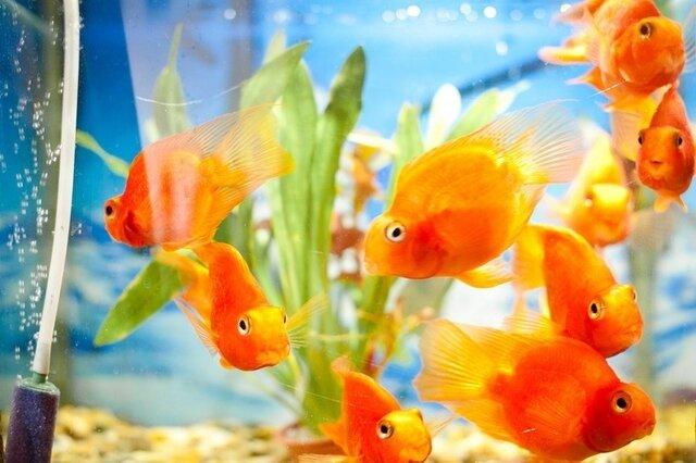 Tableau des principales maladies de nos poissons animaux de compagnies conseils - Image poissons ...