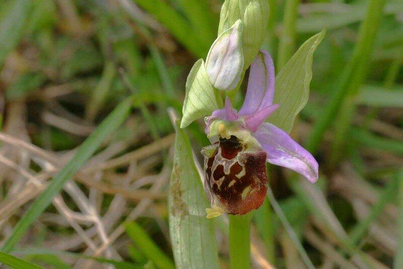 O. fuciflora