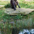 gorille_eau