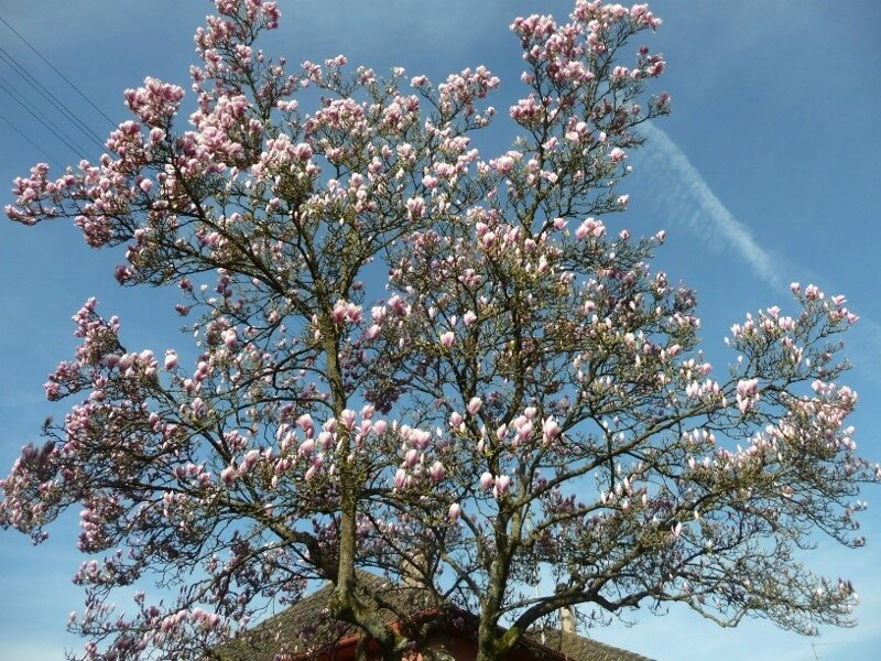 magnolia for ever (800x600)