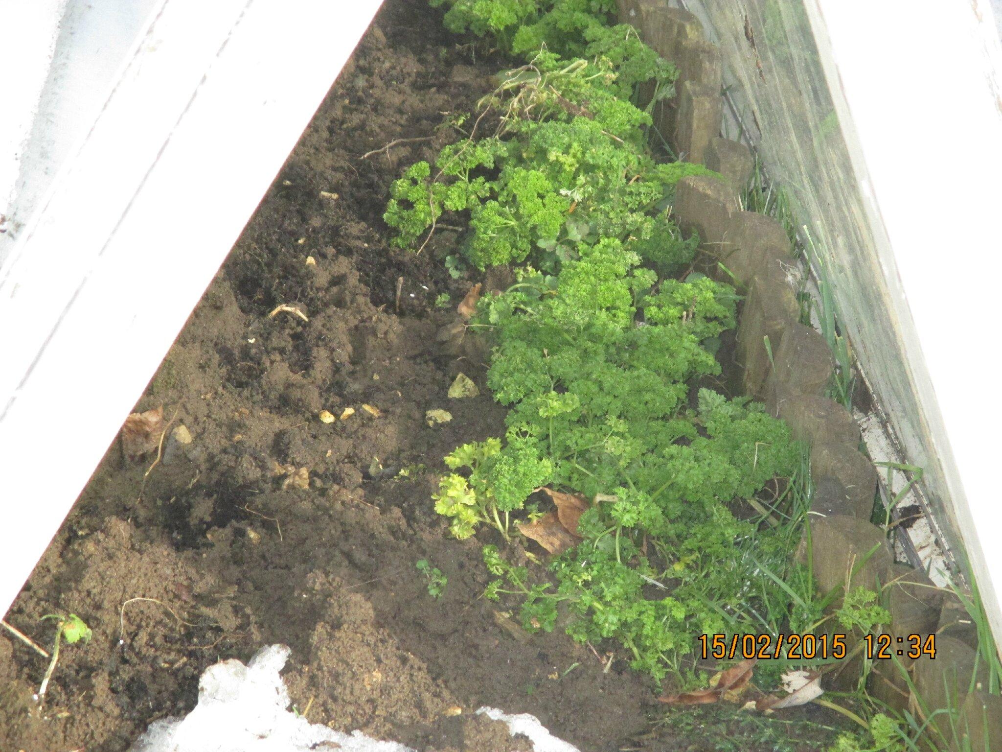 alors le voici!!.mon persil à l'abri des intempéries sous mes anciennes fenêtres,à midi un p'tit bouquet;