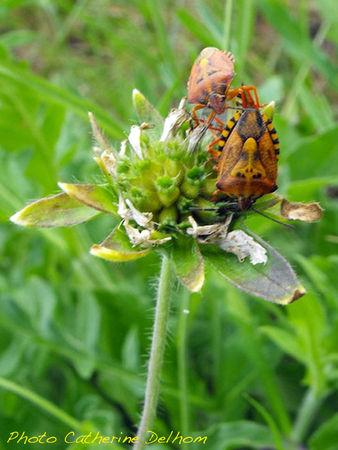 Punaise Carpocoris mediterraneus ssp. atlanticus