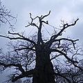 Tentacules du chêne millénaire