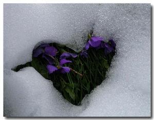 coeur_violettes